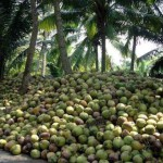 Coconut-farm