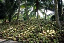 Ontwikkeling kokosindustrie verloopt geheel ten onrechte in stilte! Deel II.