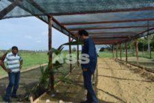 Tekort aan plantmateriaal nekt opzet kokosindustrie